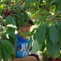 Pick-Your-Own Cherries att Monroe's Orchard