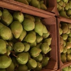 Bartletts Pears picked and put in refrigeration.