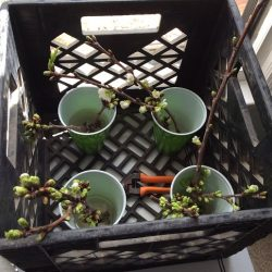 Cherry blossoms brought in to see if they will still bud after a severe freeze.