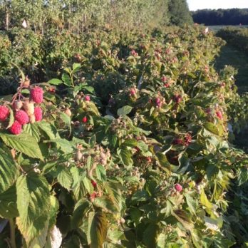 Pick-Your-Own Red Raspberries