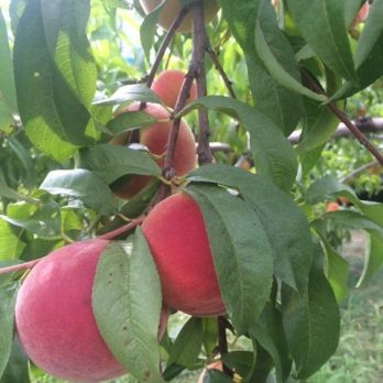 Peaches, grown right here at Monroe's Orchard