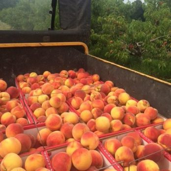 Peaches being harvested at Monroe's Orchard