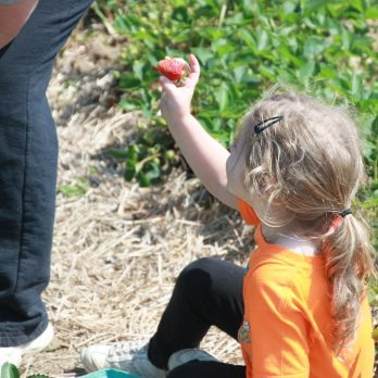 We enjoy the children in the strawberry patch, learning how to PYO!