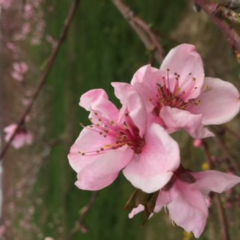 Peach blossoms at Monroe's Orchard