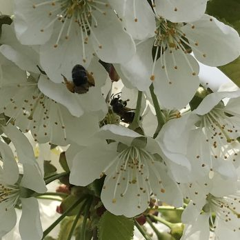 Bees pollinating Cherry blossoms at Monroe's Orchard