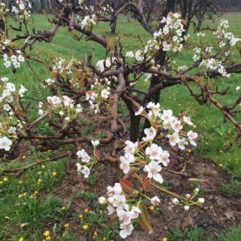 April Pear Blossoms