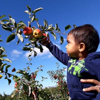 No one is allowed to climb the apple trees, but one can always reach when helped by Dad!