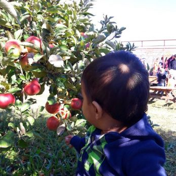 PYO Apples at Monroe's Orchard