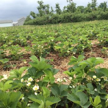 Strawberry blossoms at Monroe's Orchard