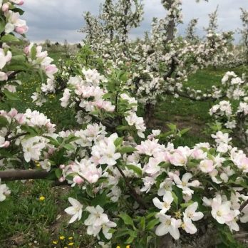 Apple blossoms at Monroe's Orchard!