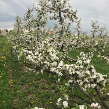 Apple Blossoms at Monroe's Orchard