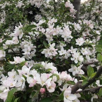 May apple blossoms at Monroe's Orchard