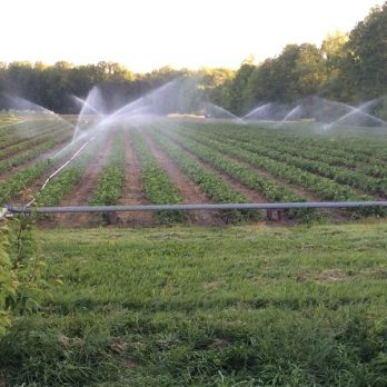 Strawberries with irrigation