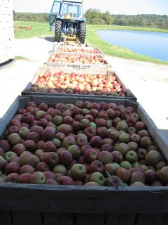 Apples arriving from the field for cooling, sorting and packaging!