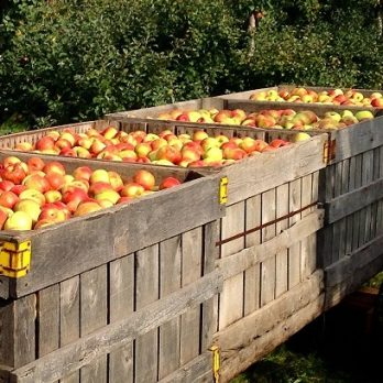 Honey Crisp Apples on their way to barn at Monroe's Orchard!