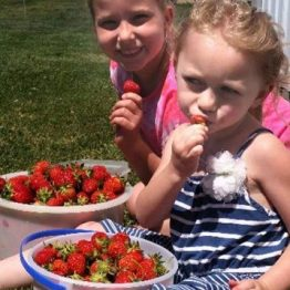 Pick-Your-Own Strawberries cannot be resisted!