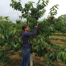 Angela picking cherries for the market