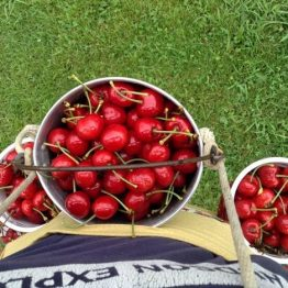 Sweet cherries are available for Pick-Your-Own!