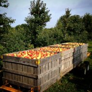 Honey Crisp coming in from the orchard